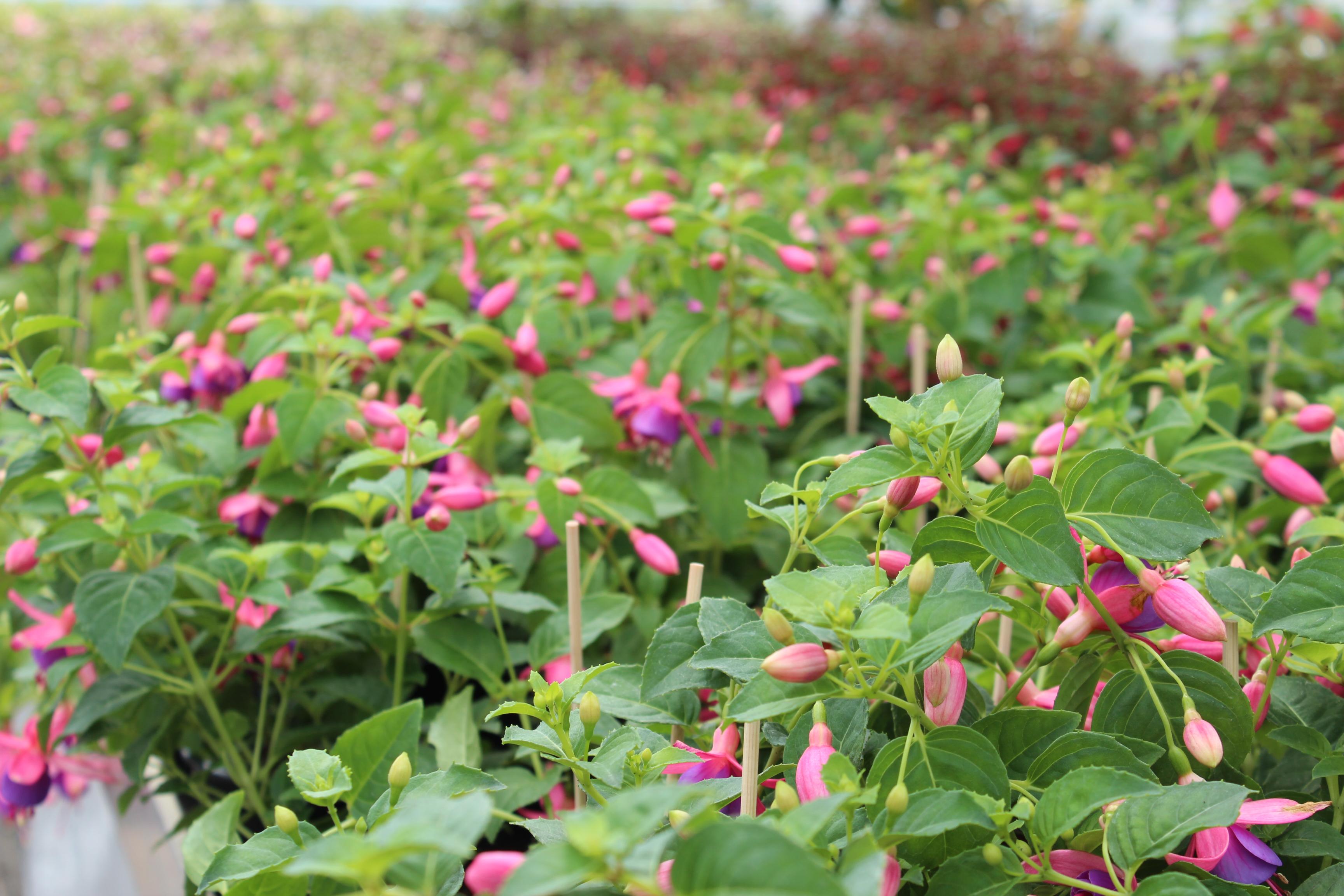 Fuchsia (staand)