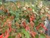 Begonia (hang)