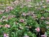 Bidens (roze)