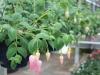 Fuchsia (hang)